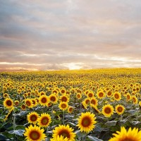 Which State is known for Growing Tons of Wheat & Millions of Sunflowers???